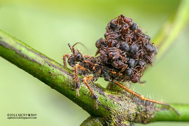 Ant-snatching assassin bug nymph (Acanthaspis sp.) - DSC_2950