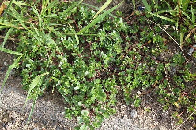 Pourpier - portulaca oleracea