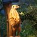 Sunbathing Meerkat