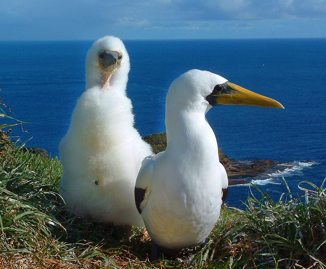 Masked boobies, Norfolk Island. Image credit Steve Daggar