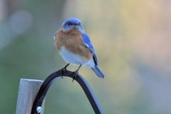 bluebird IMG_5443