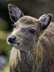 Cute deer portrait!