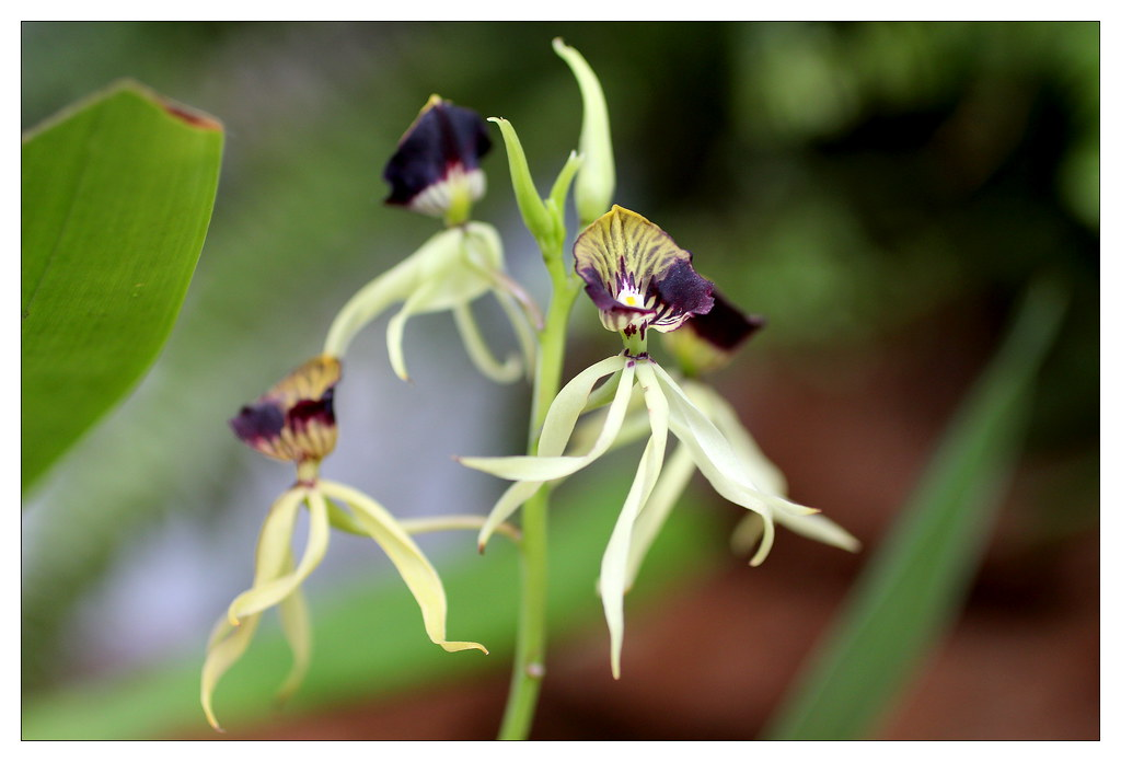 orquidea prosthechea cochleata