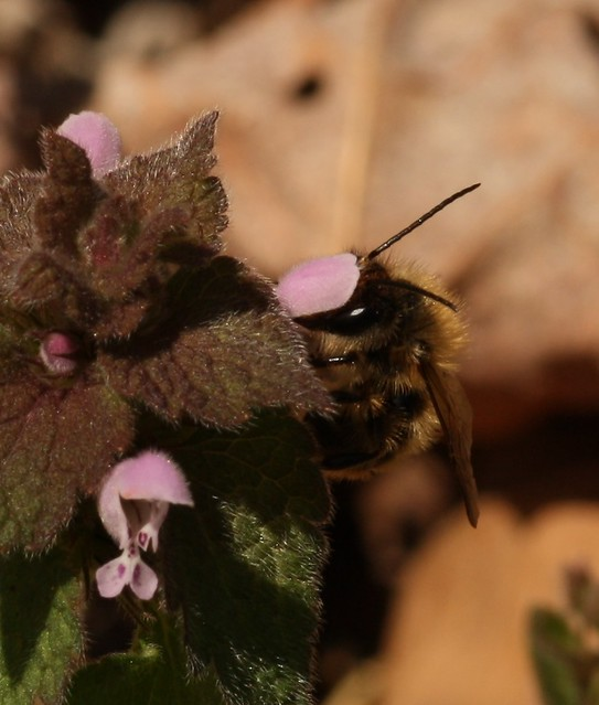 Bees on deadnettle
