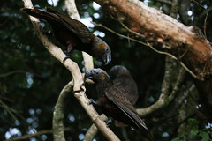 Zealandia ~ Kaka