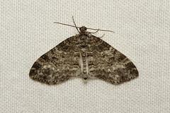 Lobophora montanata - Hodges # 7641