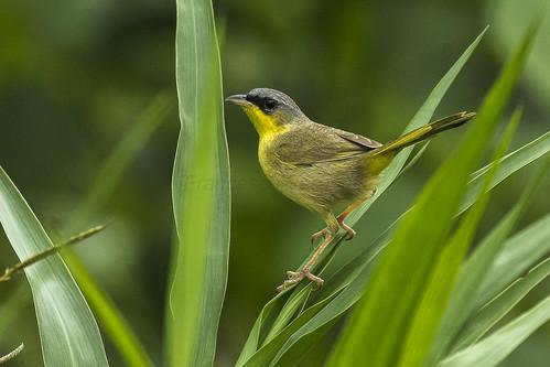birds costarica centralamerica northernlowlands 198newworldwarblers 61greycrownedyellowthroat