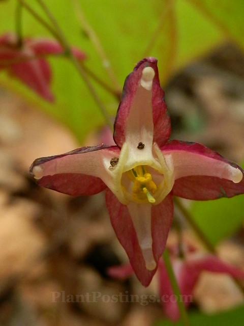rubrum flower