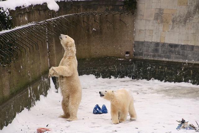 Eisbär Fiete im Zoo Rostock 23.01.2016  088