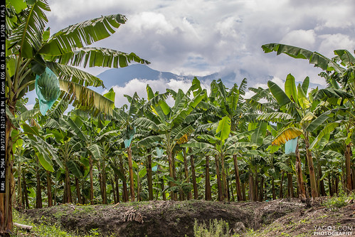 fruit landscape colombia banana armenia