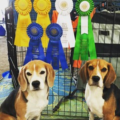 The loot from the weekend! Dylan's ribbons from yesterday, plus 2 First Place ribbons from today!! But they aren't too exciting... Dax won Master JWW with a 0 point Q :stuck_out_tongue_closed_eyes: cause he was the only qualifying dog, the same went for D