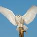 Snowy Owl Landing by Bill McMullen