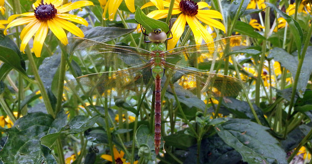 green thorax and brown abdomen, clear wings, head with a giant fake eye or bullseye