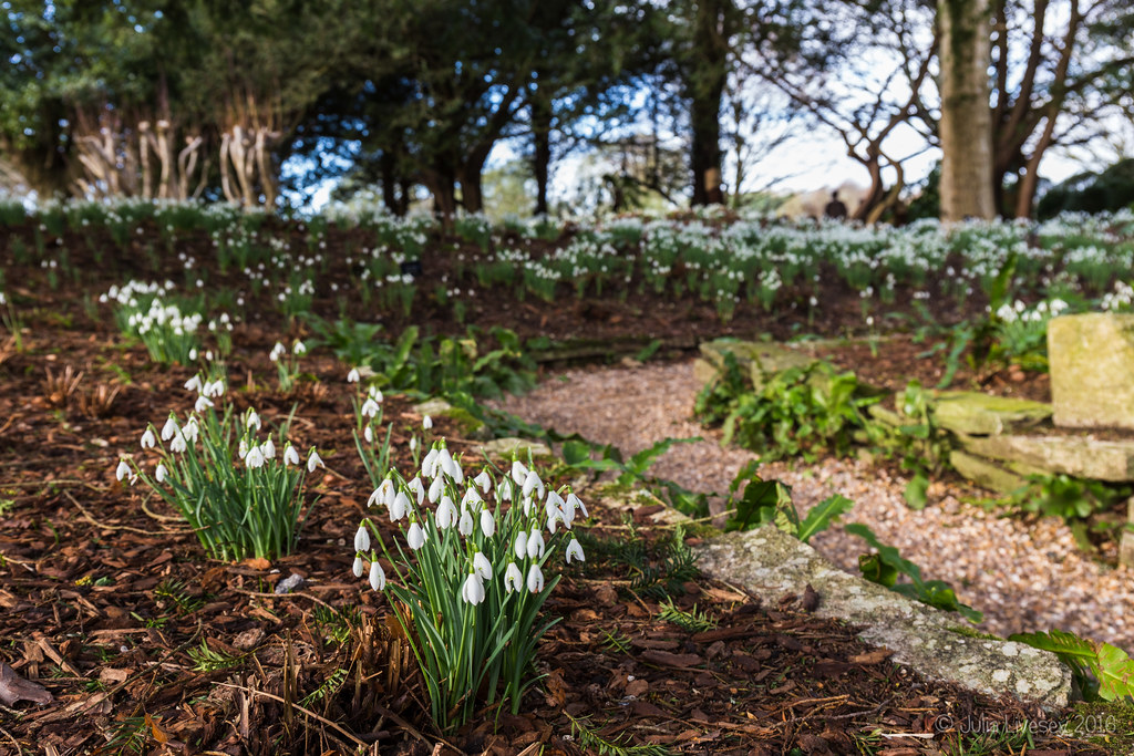 Snowdrops in the Fernery