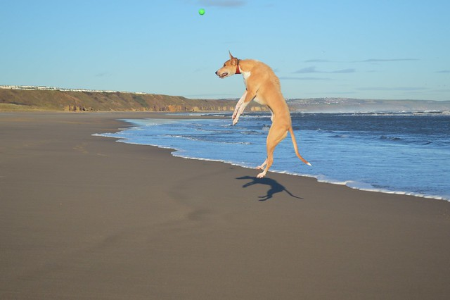 Lurcher on Crimdon Beach