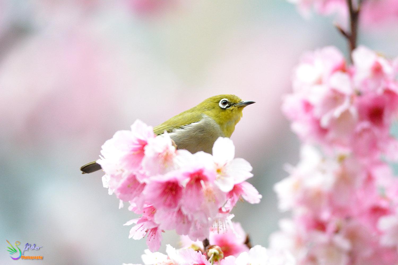 Sakura_White-eye_7838