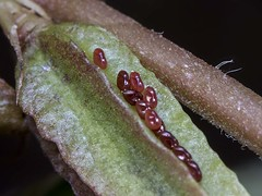 Scentless plant bug (Eggs)