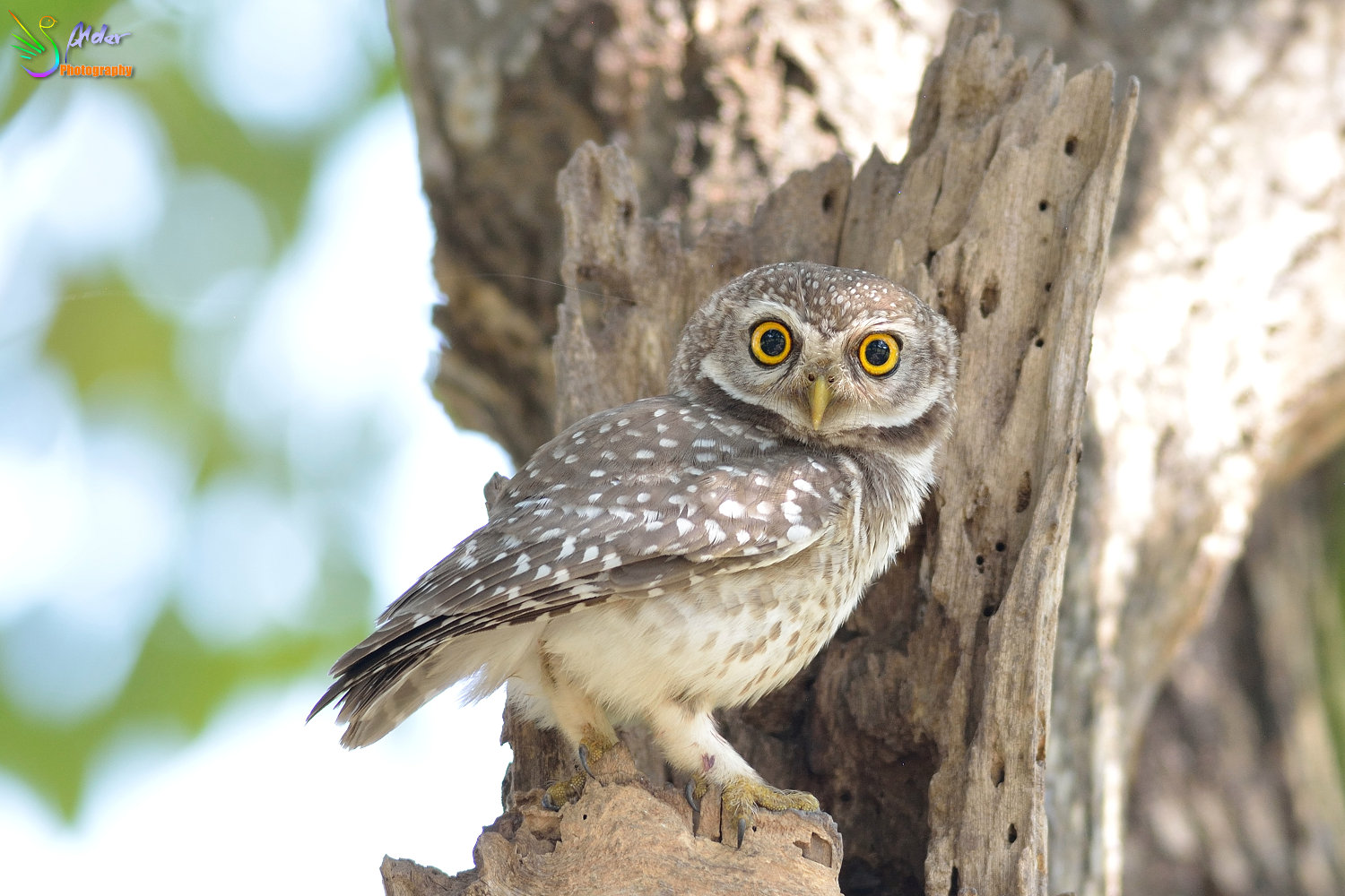 Spotted_Owlet_3041