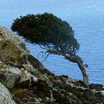 Ikaria's remotest hinterland 08 - trees at trail 5