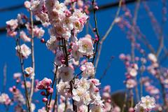 R299沿いの民家に咲く梅