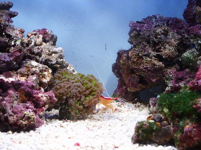 P3242268 清潔蝦 榔頭珊瑚