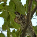 Spotted OWl by Ashif Hassan