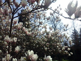 Magnolienbaum am Friedhof