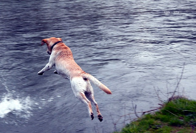 Jasper the Dog Leaps to Fetch a Large Rock