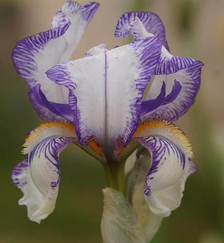 Iris swertii ou 'Swerti' - coll. 1612 25958182953_fc27c4aa4c
