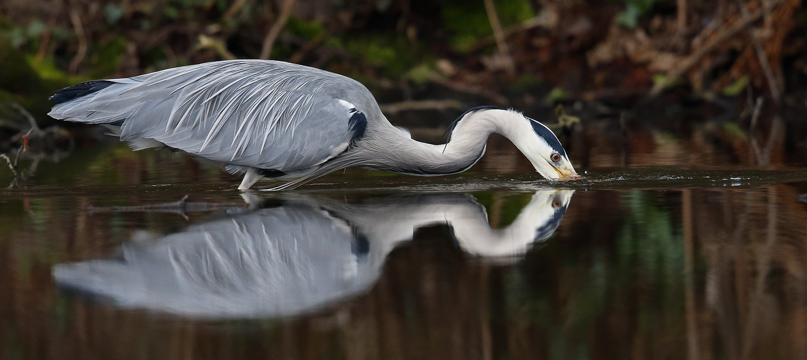 Grey Heron - a study