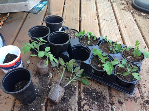 Potting up San Marzano tomatoes