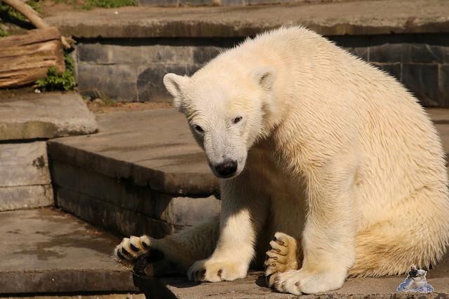 Eisbär Fiete im Zoo Rostock 16.04.2016  209
