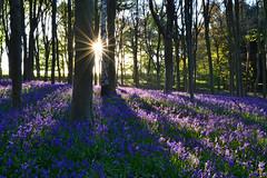 Barnsdale Wood Bluebells