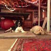 Cody and Pepper chillin' in the basement during a game of pool. #dogparty