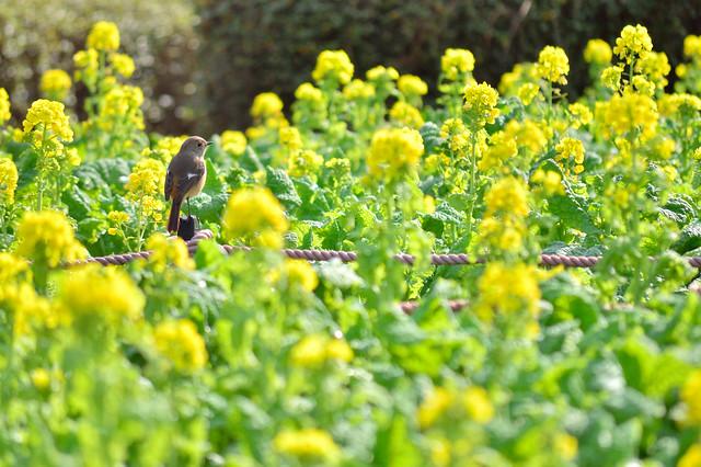 ジョウビタキ Daurian Redstart