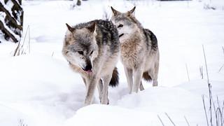 Wolf & Wolf