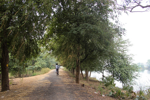 Tamarind trees along the Utchimedu tank bund.