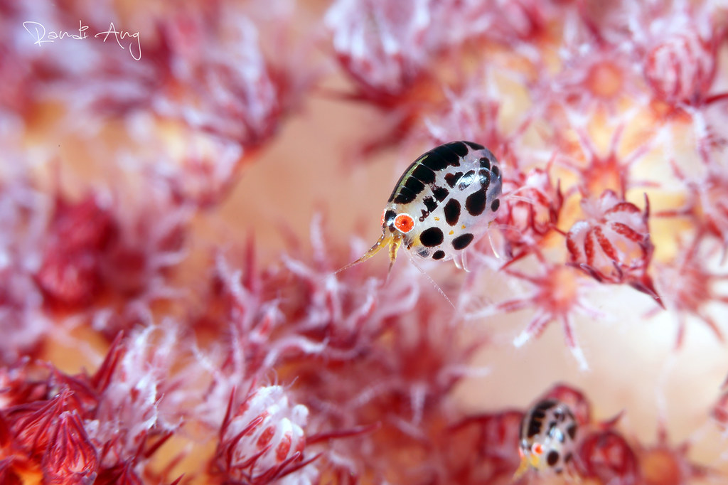 Ladybug Amphipod