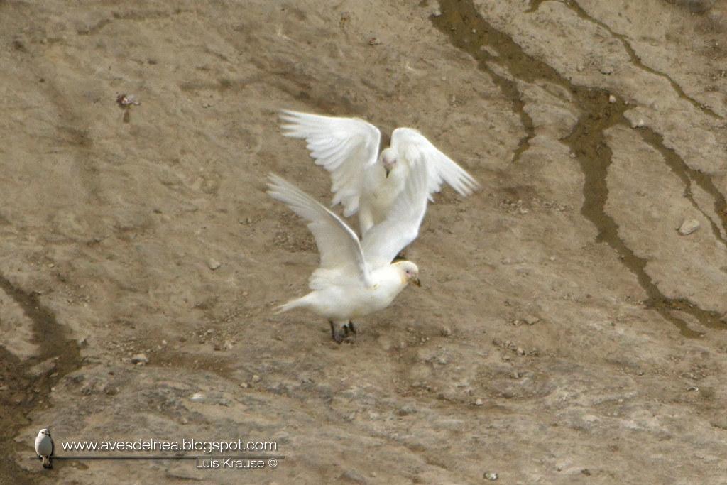 Paloma antártica (Pale-faced Sheathbill) Chionis albus
