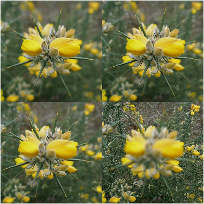Yellow flower in four different focuses