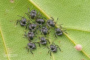 Stink bug nymphs (Pentatomidae) - DSC_5660