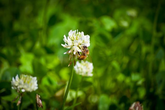 Bee & Clover