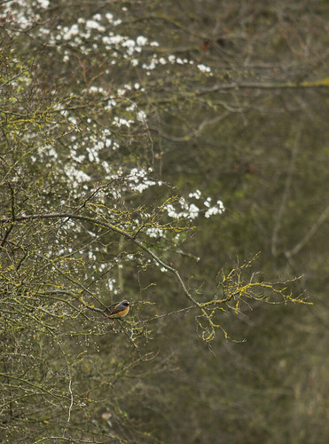Redstart, Langford, 10th April 2016