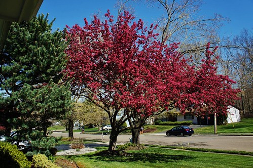 At Home: Flowering Japanese Cherry Tree