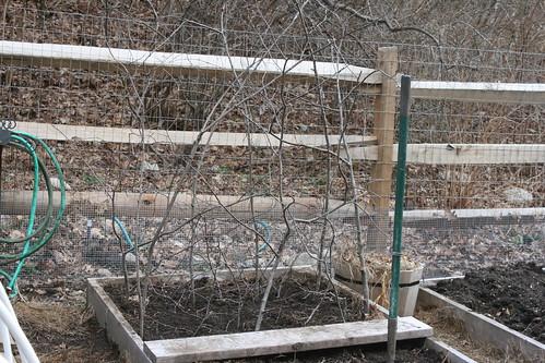 planting peas IMG_5133