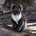 Small photo of Koalas at Cleland Wildlife Preserve