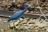 Garça-azul (Egretta caerulea) by Cláudio Timm