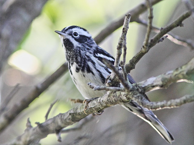 Black-and-White Warbler 04-20160414