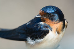 """Barn Swallow"" (Male)"