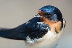 """""""Barn Swallow"""" (Male)"""